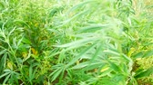 hybridní : Wild green bushes of young cannabis marijuana, sprouted in the wild corners of nature.