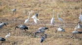 louisiana : Pelicans eat food in the fields