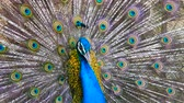 bażant : Peacock displaying his colorful feathered