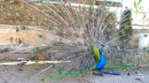 bażant : Peacock displaying his colorful feathers