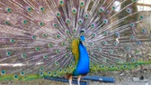 páva : Peacock displaying his colorful feathers