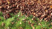 Leaf blower in action, clean up dry leaves from a grass Стоковые видеозаписи