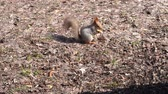 küçük kuş : A cute brown squirrel sits on a stump and eats seeds on a Sunny spring day. Stok Video