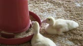 imprison : Baby ducks in a farming operation - bird meat industrial production.