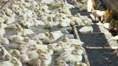 сектор : Baby ducks in a farming operation - bird meat industrial production.