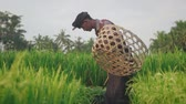 hoe : Easn asian farmer plowman working in rice field