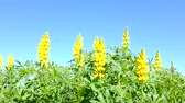 lupine : Yellow bush lupin (Lupinus arboreus) Stock Footage