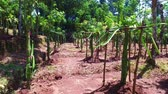 coffee tree : Coffee plantation on Java Indonesia