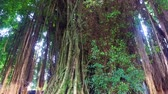 Banyan tree in the rainforest on Bali Indonesia