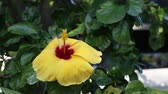 rosa : Dolly shot closeup of Chinese hibiscus Hibiscus rosa Vídeos
