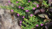 common heather : Close up of Small False heather Flower