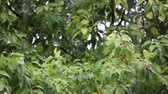 laurel leaves : Cinnamomum camphora tree with rain