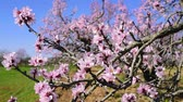 closeup of the branch of an almond tree in full bloom swaying in the wind