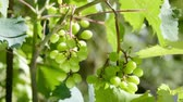 closeup of some bunches of white grapes in the vine being moved by the wind Stok Video