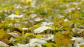 forest : Closeup view of falling autumn leaves