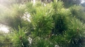 Pine tree needle leaves. Nature background.