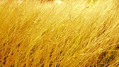 emaranhado : Gold grass movement by wind in sunset.