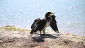 black cormorant stands on the sandy shore of the Black Sea on a summer day