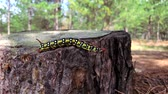 Hyles euphorbiae caterpillar crawling on a tree stump Stock Footage