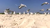 flock of white gulls walks along the sandy seashore on a summer day, time lapse Stock Footage