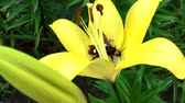 hornet sits on a yellow flowering lily, close up
