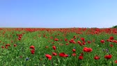 field with flowering red poppies and green stems against a clear blue sky spring day