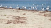 flock of sea gulls floating on the water Stock Footage