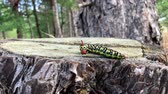 Hyles euphorbiae caterpillar crawling on a tree stump, close up