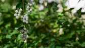 Branches with white berries Snowplum (Symphoricarpos albus) Stock Footage