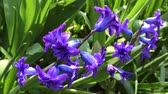 растения : blooming blue hyacinth in the garden on a summer sunny afternoon Стоковые видеозаписи