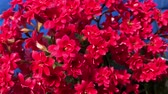 background color : flores rojas en flor, de cerca