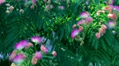 pink flowers Albizia julibrissin, close up