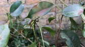 large dragonfly sits on a branch, close up Stock Footage