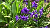 campos : blooming blue hyacinth in the garden on a summer sunny afternoon, selective focus Vídeos