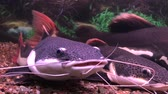 red-tailed catfish Stok Video