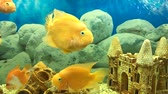 many floating yellow parrot fish in the aquarium
