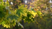 maple branch with green leaves, selective focus Stok Video
