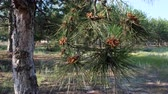 green pine branch with young cones in the forest on a summer day, Ukraine Stok Video