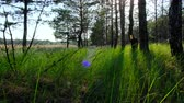 Green grass in a pine forest, a beautiful view of nature with sun flare, Ukraine Kherson region Stok Video