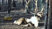 оленьи рога : The video shows reindeer with big horns