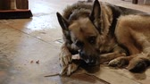овчарка : The video shows German Shepherd Gnaws Bone