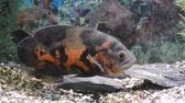 пловец : Aquarium Fish-Astronotus. Nature background