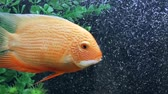 breath : Beautiful aquarium gold fish. Nature background