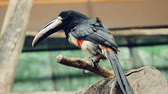The video shows Beautiful Crested Aracari Perched on the Tree Branch