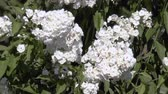 White Garden Flowers. Nature background