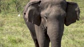 elefante : Big elephant looking at the camera in Sri Lanka. Slow motion footage.