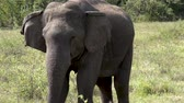 savana : Medium view of an elephant at Yala National Park, Sri Lanka
