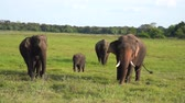 Family of elephants with a baby elephant, playing and eating grass at Yala National Park, Sri Lanka