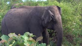 Elephant moving his ears in a National Park in Sri lanka. Footage in slow motion. Wideo