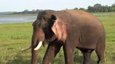 keňa : Close up of an elephant in slow motion, eating, moving its ears to cool down and walking around Yala National Park, Sri Lanka